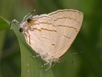 Hypolycaena philippus philippus