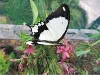 Papilio dardanus cenea