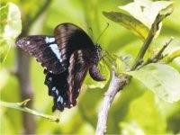 Papilio nireus lyaeus