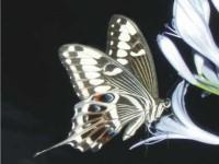 Papilio ophidicephlus phalusco